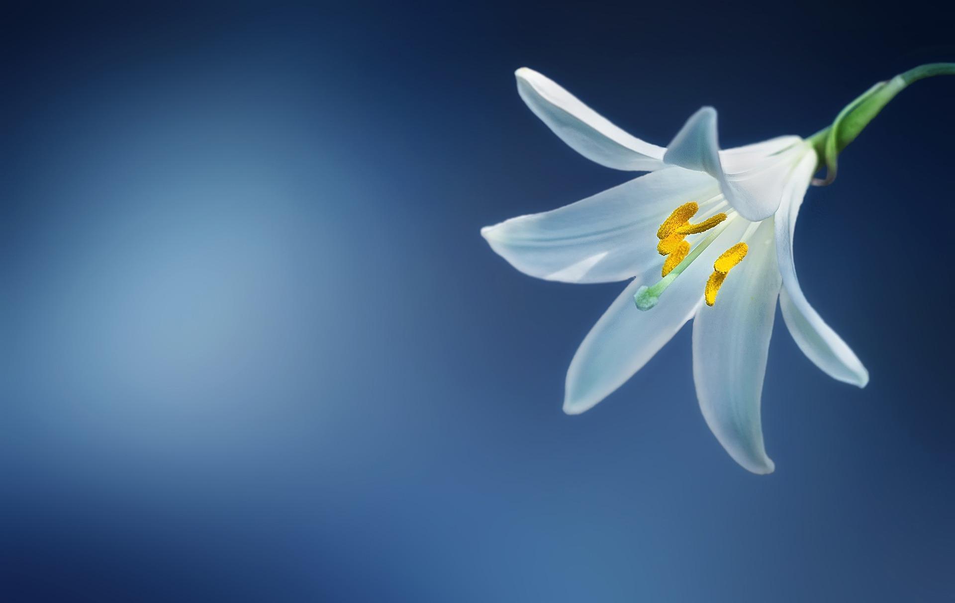 百合の花の画像