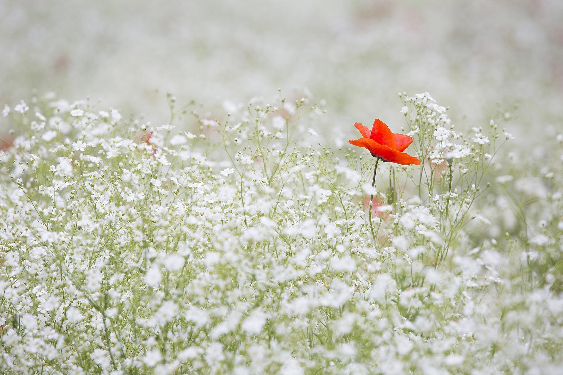 ポピーの花の画像